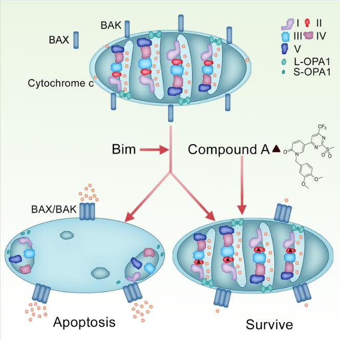 王晓东实验室发现细胞色素c释放的新机理